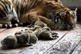 组图:东北虎妈妈一胎产下六只虎仔