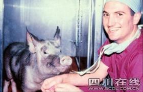 四川引进美国基因猪 有望为人提供移植器官
