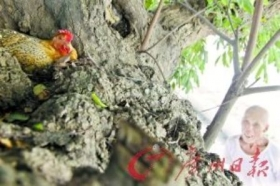广州一村民家养怪鸡 每天定时上树生一只蛋(图)