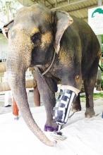 泰国触雷受伤大象装上假肢(图)