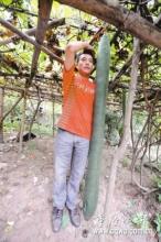 冬瓜长达1.86米每天持续增长1厘米(组图)