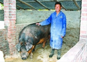 村民养殖出重达1100多斤公猪(图)