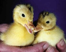 英国第一对鸭子被确认为双胞胎(图)
