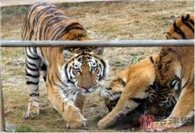 沈阳老虎饿毙与上海老虎起义