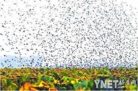 市民拍下无数飞鸟袭击千亩向日葵场面