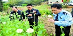 广东梅州深山发现私种罂粟花 查获500余株