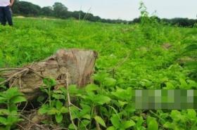数十亩荔枝树被村干部锯断